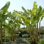 Banan palmer i haven