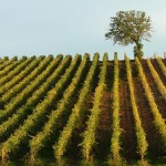 Din helt egen vingård...i Danmark